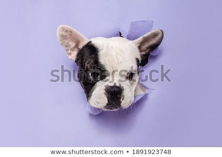 cachorro · buldogue · bebê · retrato · branco · estúdio - foto stock © oleksandro
