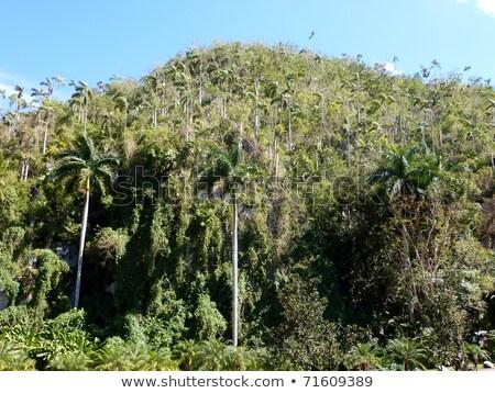 cocoa palm tree and blue sky Stock photo © dolgachov