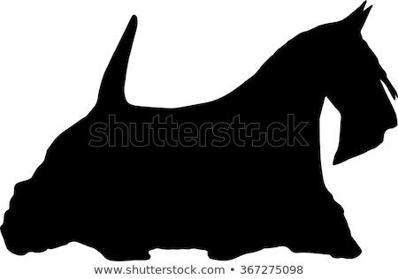 Scottish Terrier Head Side Black and White Stock photo © patrimonio