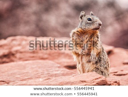 Grand Canyon squirrel wildlife. Cute furry animal looking at camera at Grand Canyon, tourist attract Stock photo © Maridav