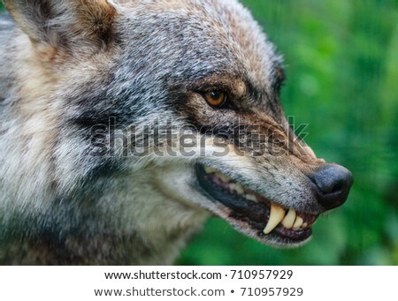 Head of an Aggressive and Angry Gray Wolf Grey Wolf or Canis Lupus Mascot Black and White  Stock photo © patrimonio