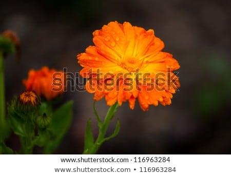 Narancs virág harmat közelkép stúdió fotózás Stock fotó © boroda