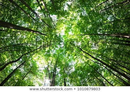 деревья Blue Sky дерево древесины лес Сток-фото © gewoldi