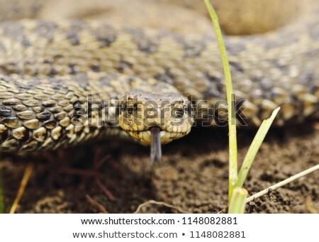 portrait of scarce meadow viper Stock photo © taviphoto