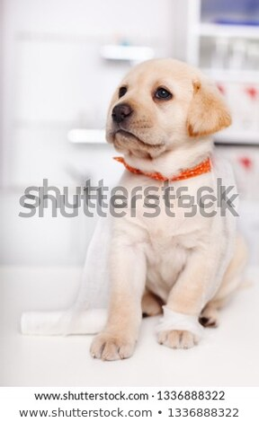 Cute labrador puppy in the veterinary doctor office tangled in b Stock photo © ilona75
