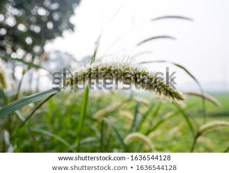 erva · daninha · natureza · flor · verde · amor · grama - foto stock © sweetcrisis