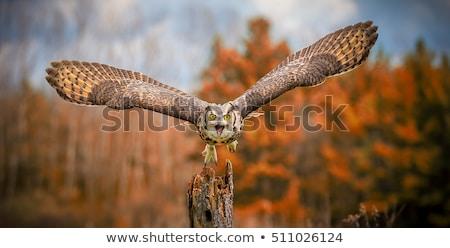 フクロウ 自然 動物 松 屋外 ストックフォト © brm1949
