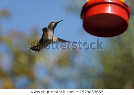 humming bird at a feeding station  Stock photo © meinzahn