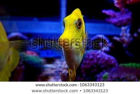 Yellow Tang Fish Stock photo © Dazdraperma