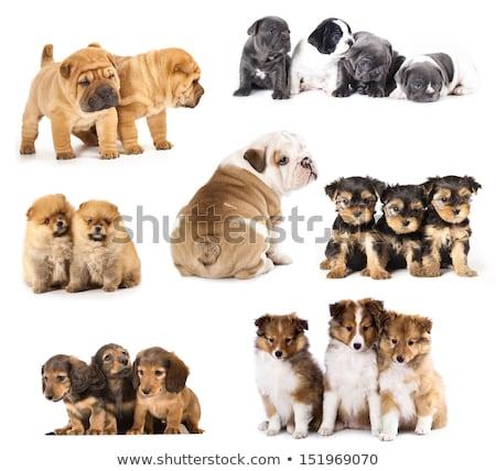 zijaanzicht · puppy · hond · grappig · weinig · vergadering - stockfoto © eriklam