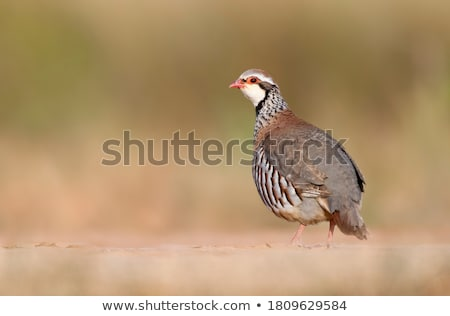 Red Legged Partridge (Alectoris rufa) Stock photo © chris2766