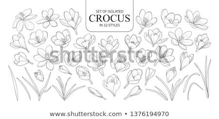 Primavera arte flores açafrão Foto stock © Neliana
