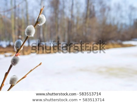 Catkins in spring Stock photo © igabriela