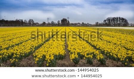 Nergis alan Hollanda çiçekler bahar doğa Stok fotoğraf © phbcz