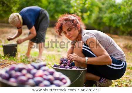 Young woman picking plums Stock photo © photography33