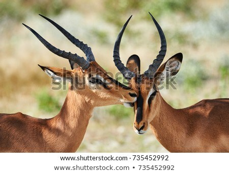 Impala (Aepyceros melampus) Stock photo © ajlber