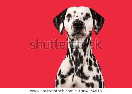 Dog And Red Background Stock photo © cammep