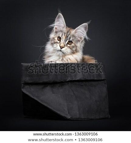 Foto stock: Surpreendente · prata · Maine · gato · preto · excelente