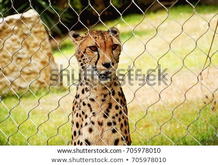 Stock photo: Cheetah in captivity