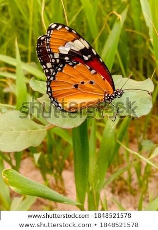 赤 · 黒 · 蝶 · 明るい · 蝶 · 白 - ストックフォト © cienpies