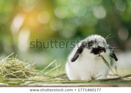 Pet Rabbit Stock photo © fouroaks