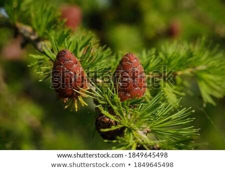Closeup of a larch branches Stock photo © Juhku