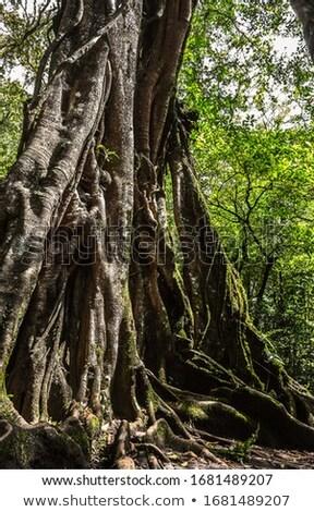 Antigo gigante árvore parque bali Indonésia Foto stock © galitskaya
