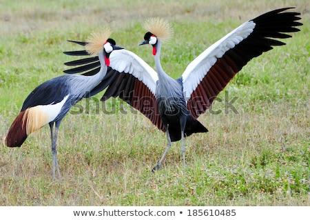 kék · állvány · portré · veszélyeztetett · madár · Dél-Afrika - stock fotó © witthaya