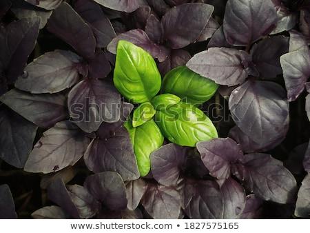 édes bazsalikom levelek zöld organikus makró Stock fotó © Kurhan