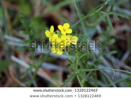 Colza (Brassica rapa)  Stock photo © lightpoet