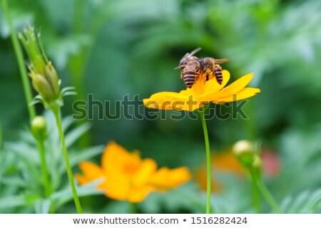 Beautiful yellow Cosmos flower Stock photo © Yongkiet