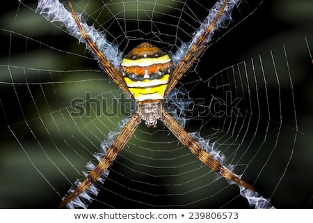 Spider (Silver argiope or Argiope argentata) Stock photo © ziprashantzi