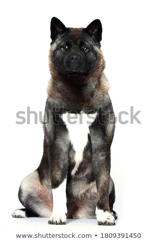 Studio shot of an adorable american Akita Stock photo © vauvau