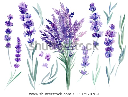 Watercolor lavender bouquet isolated on white background. Stock photo © ShustrikS