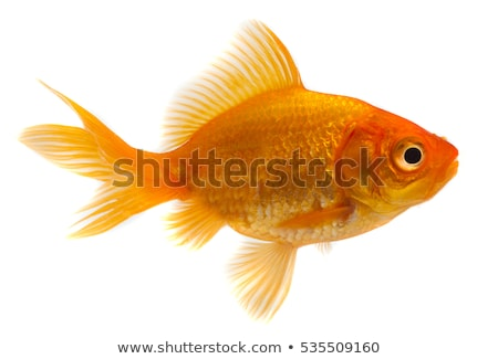 Isolated goldfish Stock photo © Musat