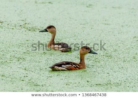 Trzy lata ptaków głowie parku Zdjęcia stock © jaykayl