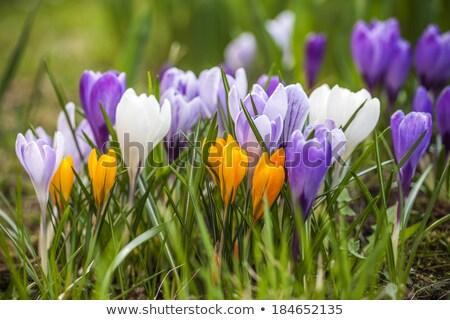 roxo · amarelo · açafrão · jardim · flor · folha - foto stock © brebca