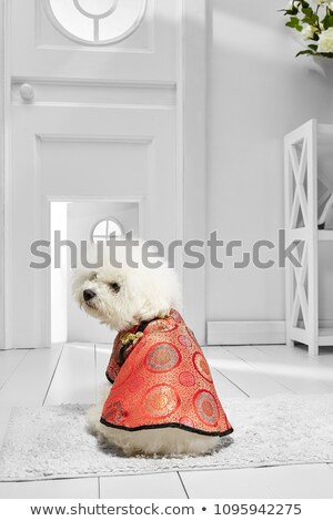 cute bichon frise - back view Stock photo © feedough