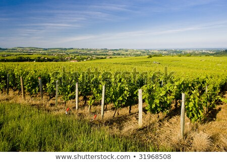 vineyards of Cote Maconnais region, Burgundy, France Stock photo © phbcz