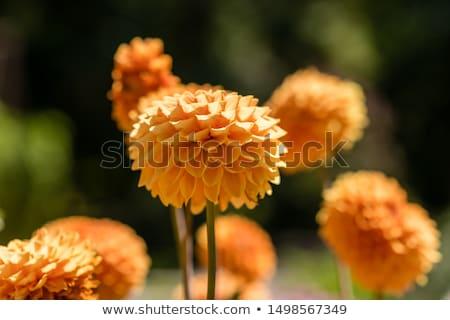 Geel Rood dahlia groene natuur Stockfoto © bobkeenan