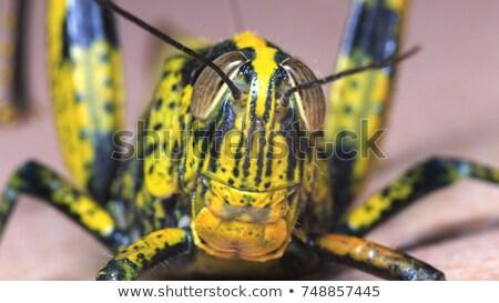 Gypsy Moth Pair Stock photo © ca2hill