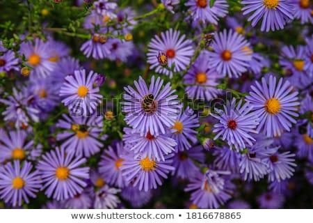 purple flowers of aster dumosus  Stock photo © inxti