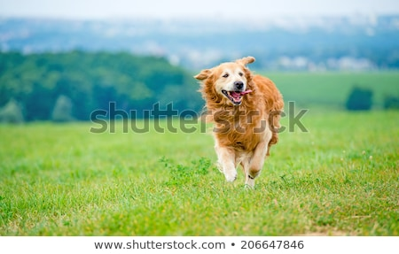 Little poodle dog running stock photo © raywoo