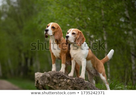 Hunter with two dogs Stock photo © artisticco