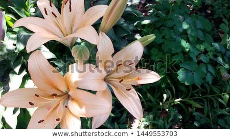 три · красный · Лилия · изолированный · белый · цветок - Сток-фото © chesterf