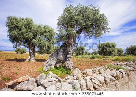 oliveira · seca · prado · grama · madeira · natureza - foto stock © haraldmuc