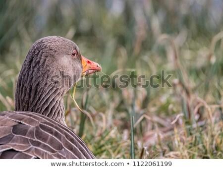 Gans ogen veld vogel groene jonge Stockfoto © LianeM