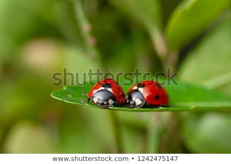 two ladybugs stock photo © derocz