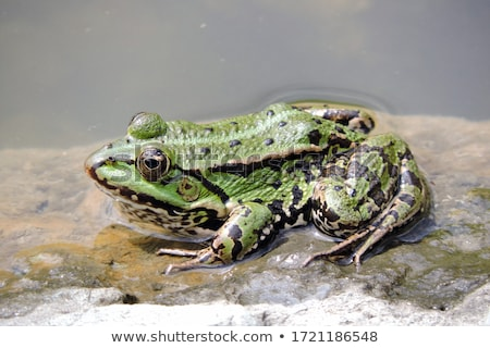 カエル · 頭 · 外に · 後ろ · 葉 - ストックフォト © rhamm