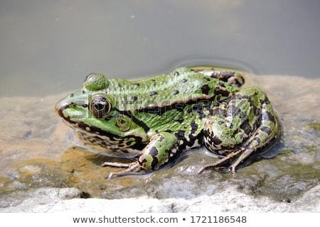 Kikker groene zwarte vergadering natuur Stockfoto © rhamm